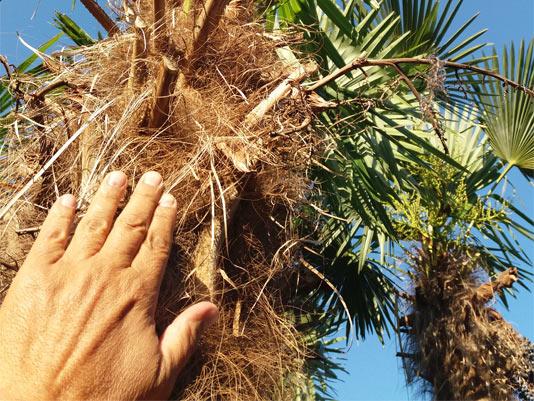 Síntomas-del-picudo-rojo-palmera-Trachicarpus-ataque-lateral-3