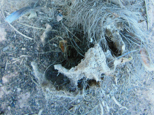 Síntomas-del-picudo-rojo-palmera-Trachicarpus-ataque-lateral-4