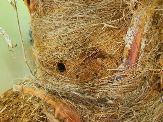 Síntomas-del-picudo-rojo-palmera-Trachicarpus-ataque-lateral-5