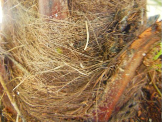 Síntomas-del-picudo-rojo-palmera-Trachicarpus-ataque-lateral-6