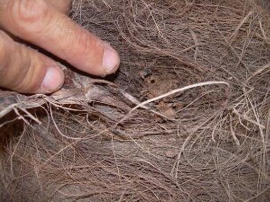 Síntomas-del-picudo-rojo-palmera-Trachicarpus-ataque-lateral-8