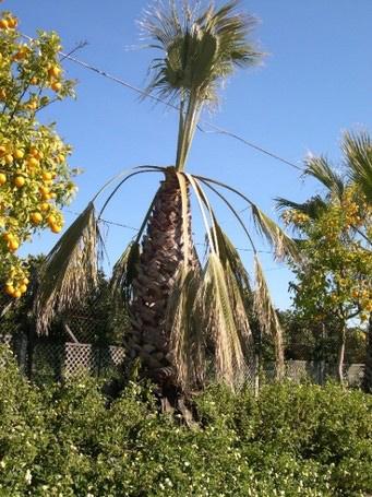 Síntomas-del-picudo-rojo-palmera-Washingtonia-robusta,-Washingtonia-filifera-ataque-cogollo-1.