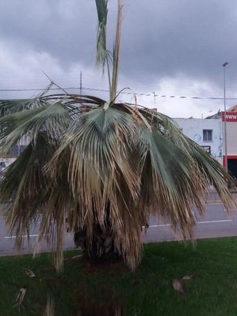 Síntomas-del-picudo-rojo-palmera-Washingtonia-robusta,-Washingtonia-filifera-ataque-cogollo-2.