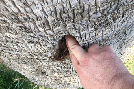 Síntomas-del-picudo-rojo-palmera-Washingtonia-robusta-Washingtonia-filifera-ataque-lateral-3