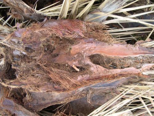 Sintomas-del-picudo-rojo-Phoenix-canariensis--hojas-podadas-en-suelo-1.