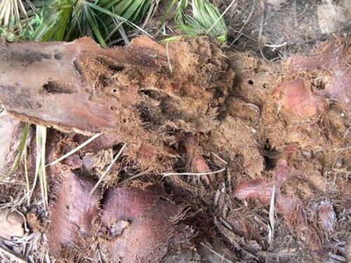 Sintomas-del-picudo-rojo-Phoenix-canariensis--hojas-podadas-en-suelo-2.