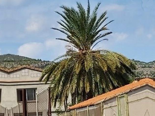 Sintomas-del-picudo-rojo-Phoenix-dactylifera--desoplome-de-la-corona-de-hojas-3.
