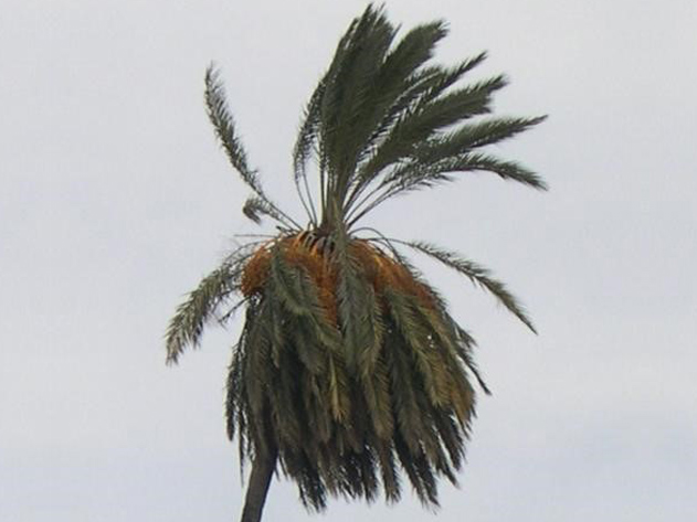 Sintomas-del-picudo-rojo-Phoenix-dactylifera--desoplome-de-la-corona-de-hojas-4.