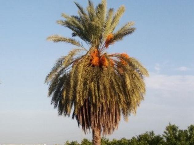 Sintomas-del-picudo-rojo-Phoenix-dactylifera--desoplome-de-la-corona-de-hojas-5.