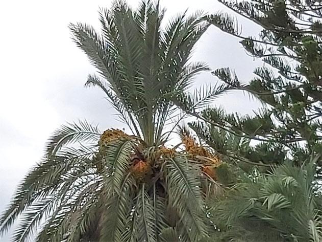 Sintomas-del-picudo-rojo-Phoenix-dactylifera-desoplome-de-la-corona-de-hojas-8