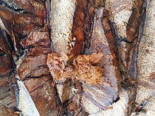 Sintomas-del-picudo-rojo-Phoenix-dactylifera-exudación-sabia-fermentada-1.