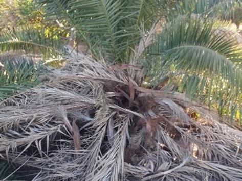 Sintomas-del-picudo-rojo-Phoenix-dactylifera-hojas-secas-2.