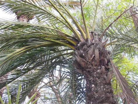Sintomas-del-picudo-rojo-Phoenix-dactylifera-hojas-secas-4