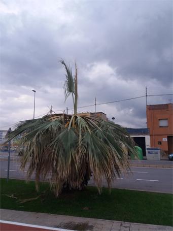Sintomas del picudo rojo palmera Washingtonia robusta, Washingtonia filifera ataque cogollo 6
