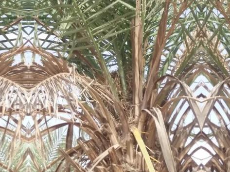 Symptômes-aspect-défraîchi-feuilles-sèches-1.-1