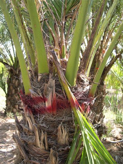 Symptômes-feuilles-centrales-tombées-ou-sèches-2