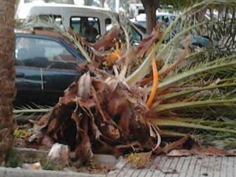 Symptômes-l'effondrement-du-cœur-du-palmier-8