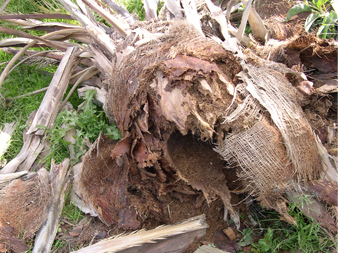 Symptômes-l'effondrement-du-cœur-du-palmier-9