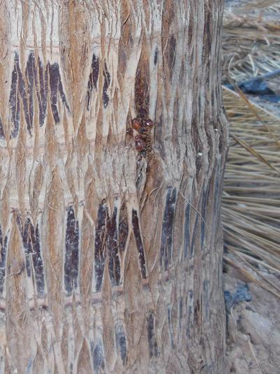 Symptômes-palmier-cocotier-attaque-latérale-4