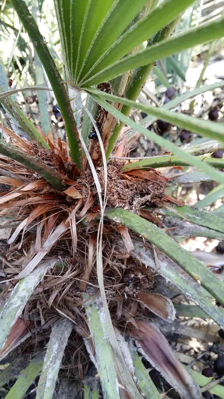 Symptômes-palmier-trachicarpus-attaque-du-coeur-du-palmier-1