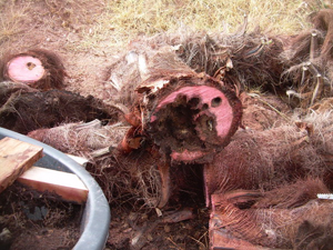 Symptômes-palmier-trachicarpus-attaques-basales-2-1