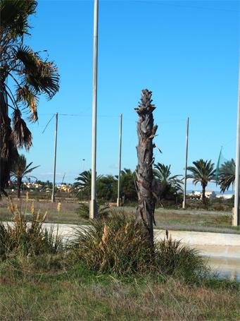 Symptômes-washingtonia-attaque-du-coeur-du-palmier-8