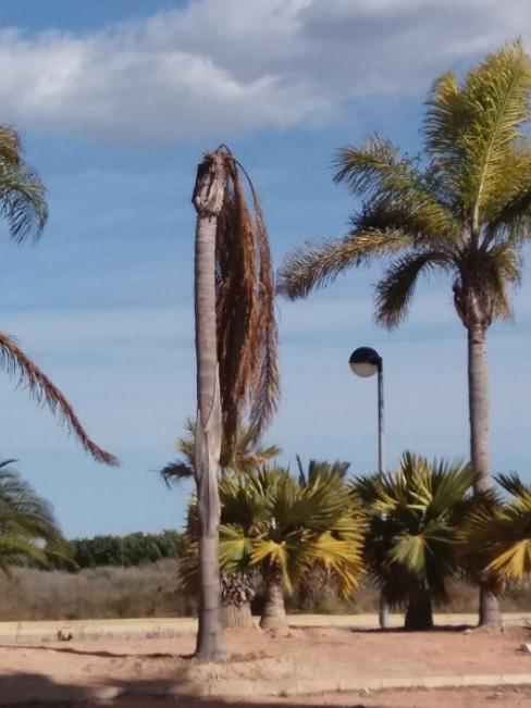Symptoms-coconut-palm-bud attack-2.