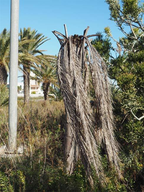 Symptoms-coconut-palm-bud attack-3.