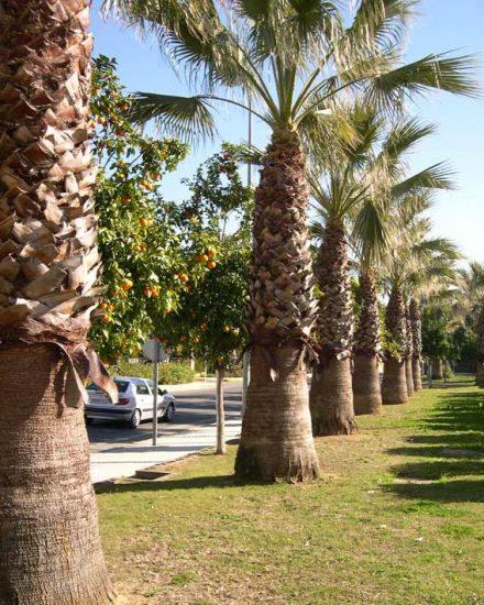 palmera Phoenix Washingtonia filifera 2