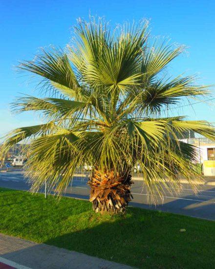 Palmera Phoenix Washingtonia filifera 3