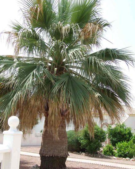 Palmera Phoenix Washingtonia filifera 4