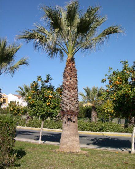 Palmera Phoenix Washingtonia filifera 6