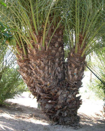 Palmera Phoenix dactylifera 5