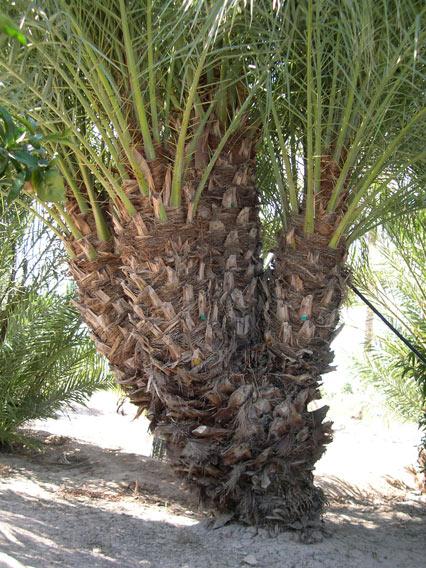 Palmera Phoenix dactylifera