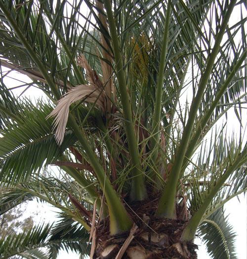 red-weevil-symptom-on-Phoenix-canariensis-leaves-7