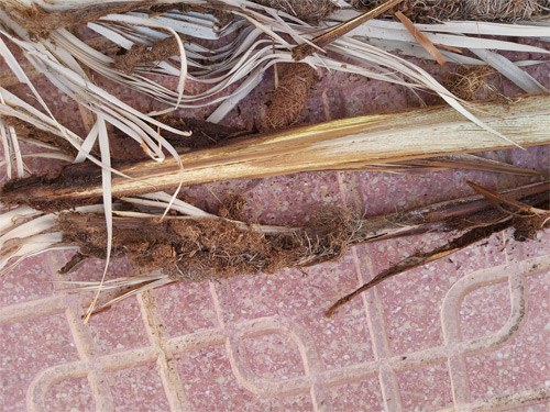 red-weevil-symptoms-canary-palm-cocoon-remains-3