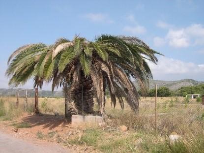 red-weevil-symptoms-canary-palm-mushroom-1-1