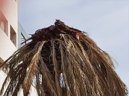 red-weevil-symptoms-canary-palm-mushroom-9