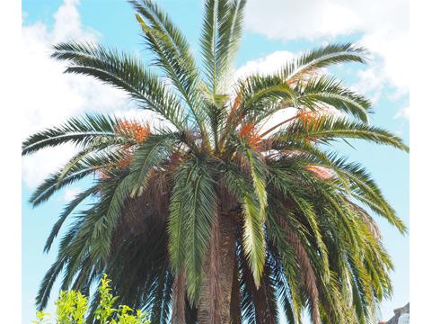 sintomas-del-picudo-rojo-Phoenix-canariensis--asimetria-de-la-corona-7