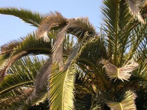 sintomas-del-picudo-rojo-Phoenix-canariensis--aspecto-decaido-1.