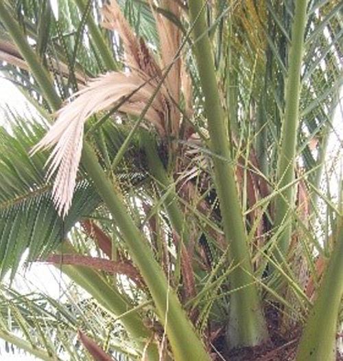 sintomas del picudo rojo Phoenix canariensis hojas centrales caidas 4