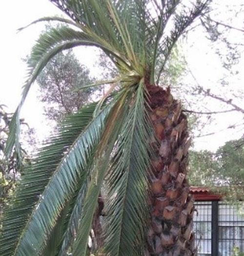 sintomas del picudo rojo Phoenix canariensis hojas centrales caidas 6
