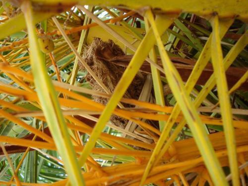 sintomas-del-picudo-rojo-Phoenix-canariensis--restos-de-capullos-1.