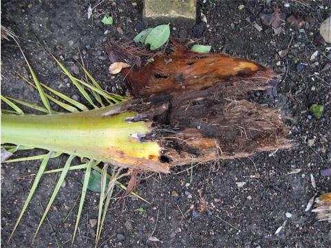 symptômes-feuilles-mangées-4.